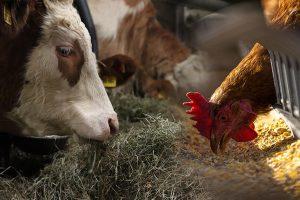 Agronomía UdeC dictará charla sobre alimentos para animales